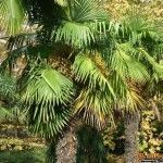 Пальмы в Адлере