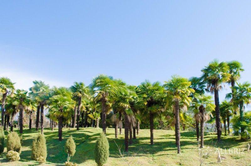 Пальмы трахикарпус форчуна