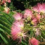 Цветущуя Альбиция