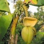 Банановая