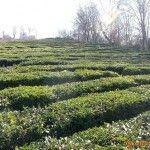 Чайная плантация в Лоо