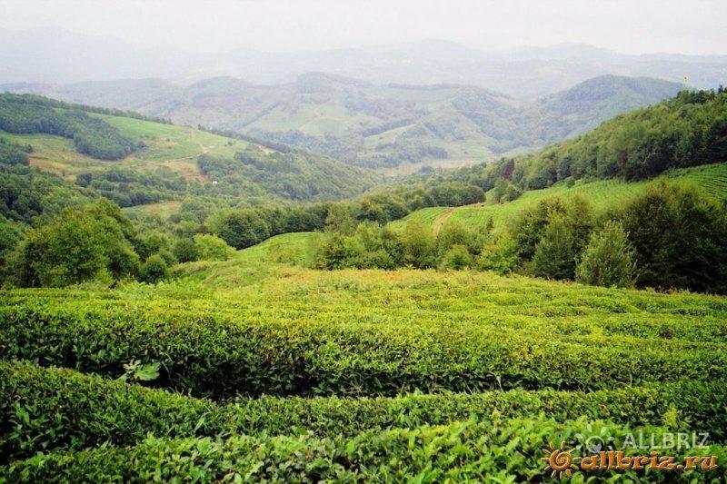 Чайные плантации в Уч-дере