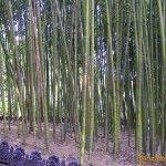 Бамбуковый лес в Дендрарии