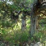 Деревья Можжевельника
