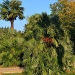 Пальмы в Парке Культуры и Отдыха в Лазаревском
