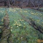 Мини плантация Нарциссов
