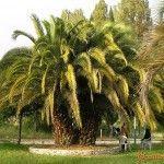 Пальмы в Гаграх