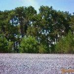 Реликтовые сосны прямо на берегу моря в Пицунде