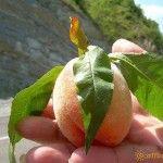 Такие персики растут в Пшаде