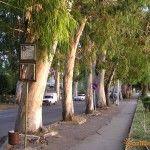 Эвкалипты на улице Нартаа в Гаграх