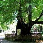 Вековая липа в ботаническом саду Сухума