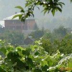 Виноград растет в частном секторе