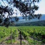Виноградник в Кабардинке