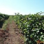 Виноградники в Голубицкой