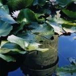 Водяные лилии в саду Воронцовского дворца