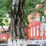 Массивное дерево в Темрюке