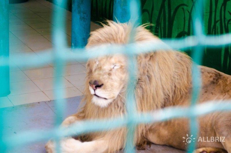 Африканский белый лев