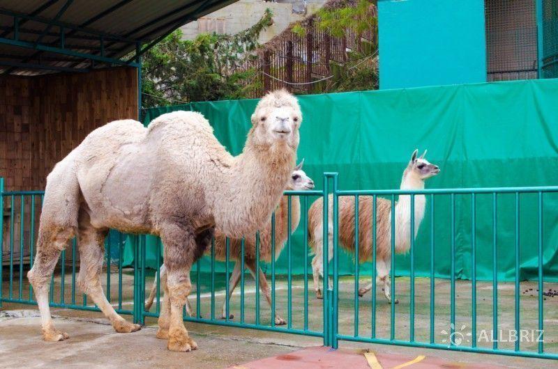 Вольер с верблюдами и ламами