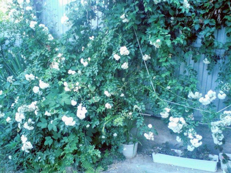 Розы вокруг