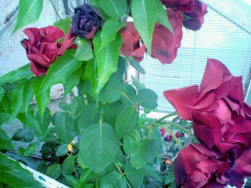 Двор в розах