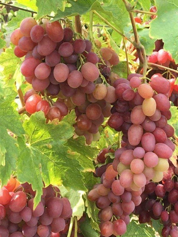 У нас есть свой небольшой виноградник.