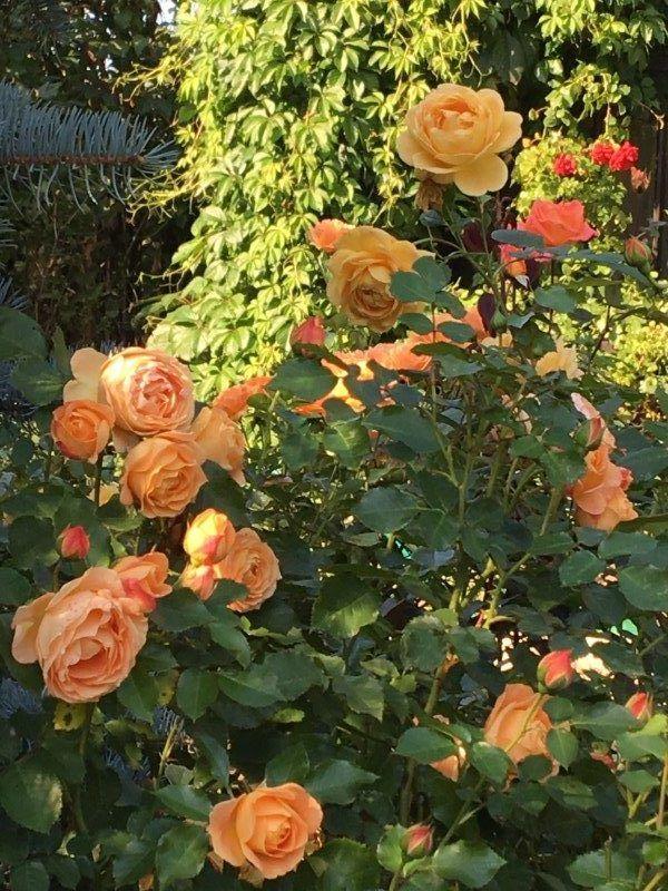 У нас растут чудесные розы нескольких десятков сортов.